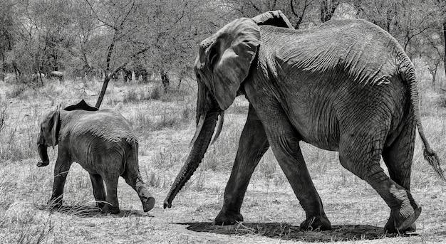 Foto em escala de cinza de um elefante fofo andando na grama seca com seu bebê na selva