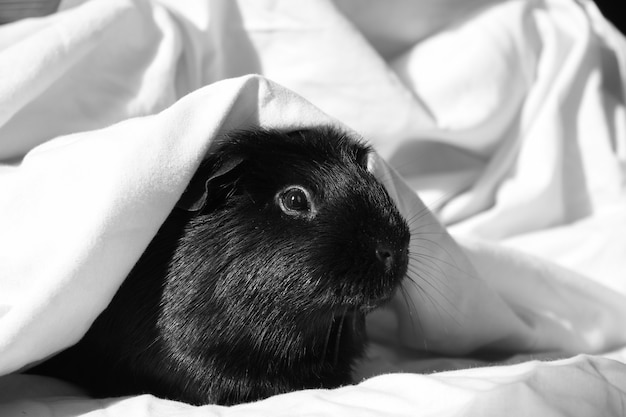 Foto em escala de cinza de um hamster fofo coberto por um cobertor branco