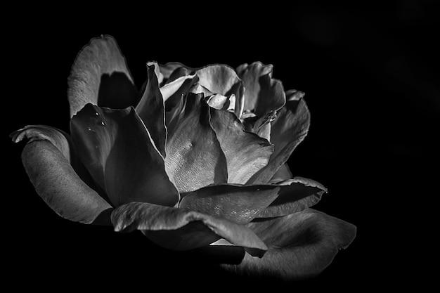 Foto em escala de cinza de uma rosa