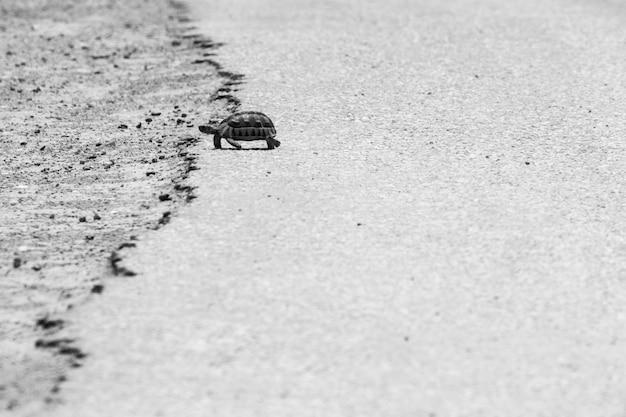 Foto em escala de cinza de uma tartaruga caminhando no asfalto quente de uma estrada