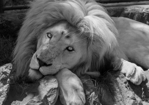 Foto em preto e branco de um lindo leão da áfrica oriental na natureza
