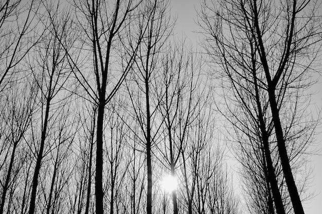 Foto em tons de cinza de árvores sem folhas em uma floresta