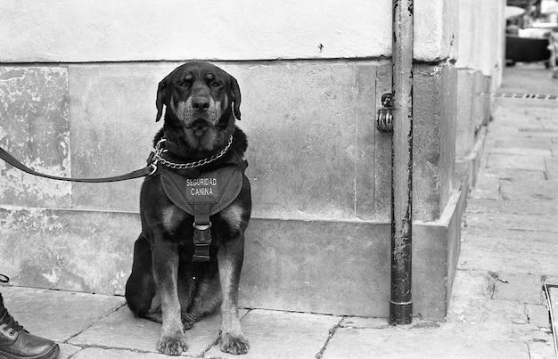 Foto em tons de cinza de um cachorro preto na coleira sentado na calçada