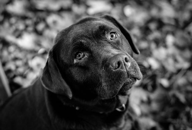 Foto em tons de cinza de um labrador retriever preto