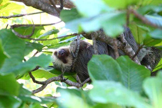 Foto filmada de uma preguiça fofa dormindo confortavelmente em galhos de árvores