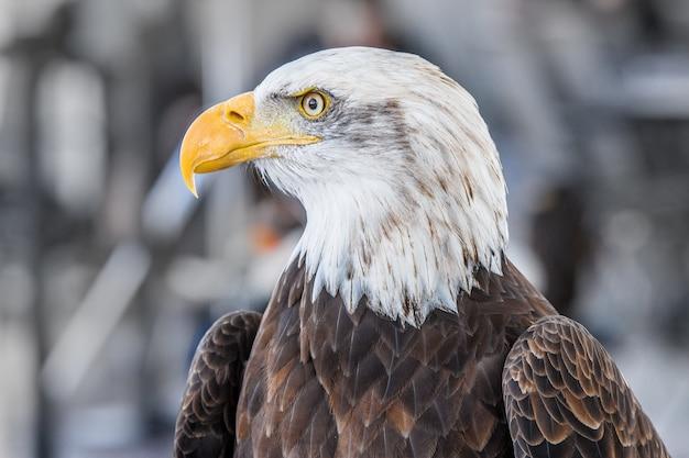 Foto focada de uma águia majestosa em um dia de inverno