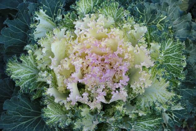 Foto frontal de repolho branco ornamental em um jardim botânico de outono