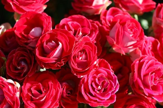 Foto frontal superior de rosas artísticas no jardim para o fundo