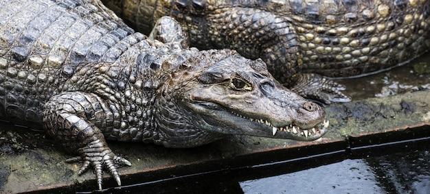 Foto grande angular de um crocodilo gigante próximo à água