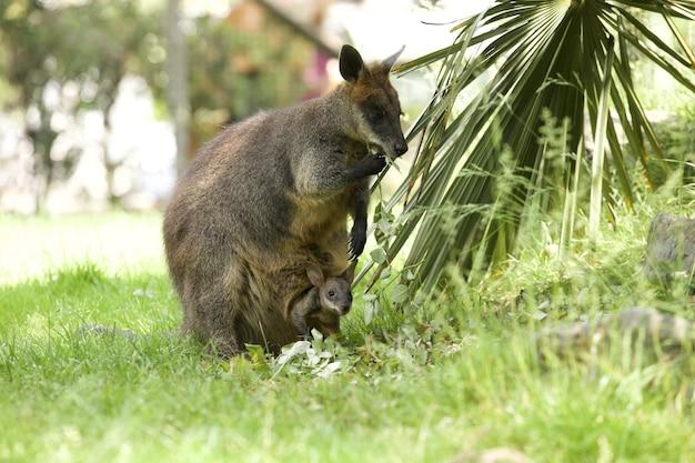 Foto hipnotizante de um adorável canguru wallaby com um bebê na bolsa