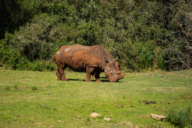Foto hipnotizante de um rinoceronte na grama durante o dia