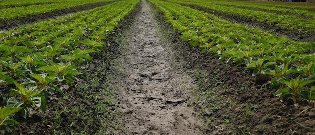Foto horizontal de berinjela crescendo na fazenda orgânica em um dia ensolarado.