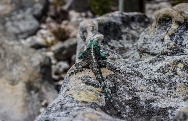 Foto horizontal de um lagarto preto e verde em uma rocha