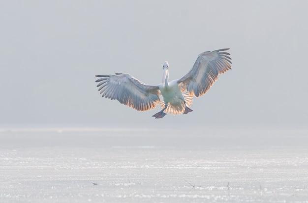 Foto horizontal de um pelicano branco voando sobre a superfície do lago