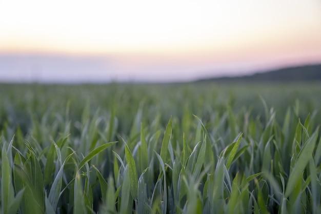 Foto impressionante de uma grama fresca e espessa com as cores do céu crepuscular atrás