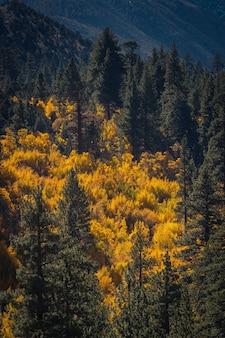 Foto incrível de árvores com folhas amarelas e pinheiros sob a luz do sol