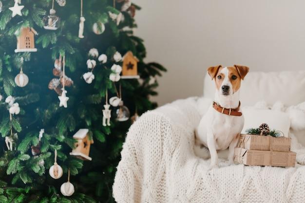 Foto interior de cão de raça com coleira no pescoço, posa no sofá confortável perto de caixas de presentes embrulhadas presentes, árvore decorada verde