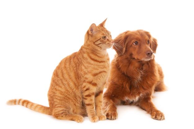 Foto isolada de um cachorro retriever e um gato ruivo em frente a uma superfície branca, olhando para a direita