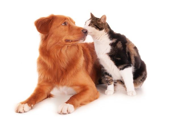 Foto isolada de um cão retriever aninhando-se com um gato malhado em frente a um fundo branco