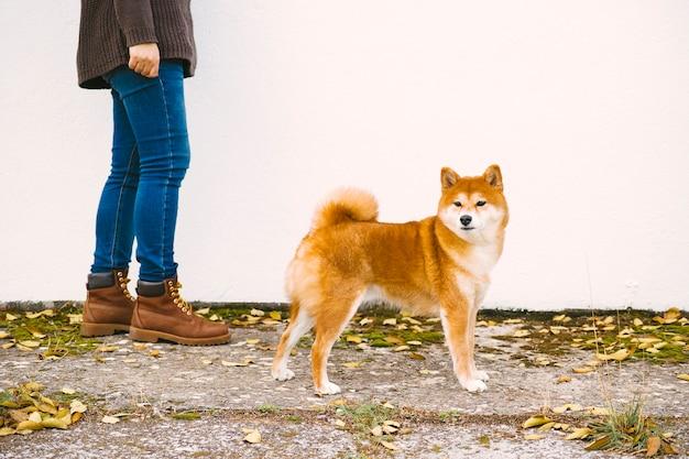 Foto lateral e close-up de um cachorro shiba andando na rua com seu dono
