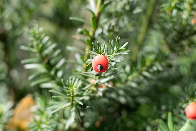 Foto macro borrada de jardim decorativo taxus baccata ou teixo