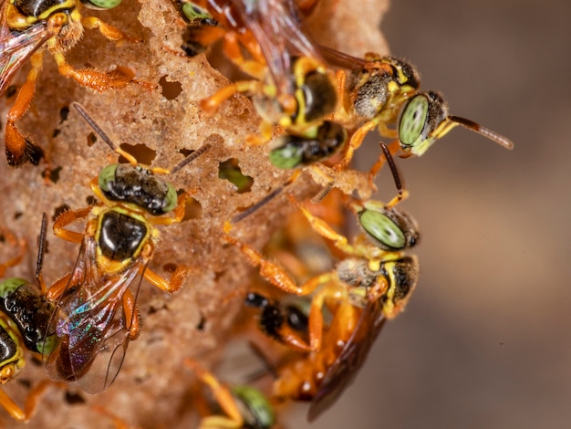 Foto macro da entrada de um enxame da abelha jataí brasileira.