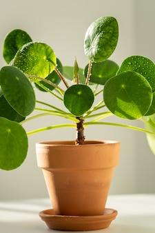 Foto macro da planta pilea peperomioides em vaso de terracota, folhas verdes cobertas por gotas de água