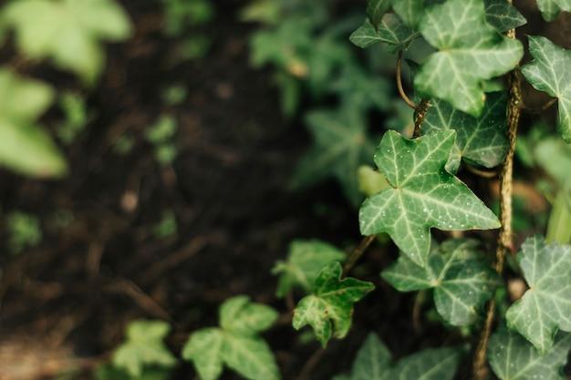 Foto macro de fundo de folhagem de hera