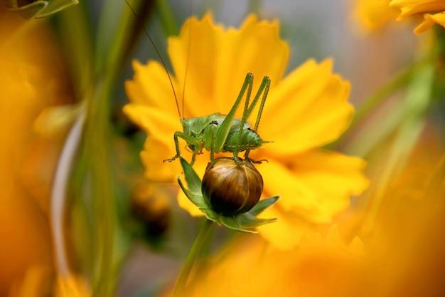Foto macro de parasitismo em uma flor amarela