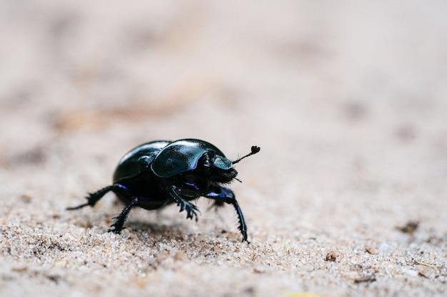 Foto macro de um besouro defensivo caminhando em um prado arenoso