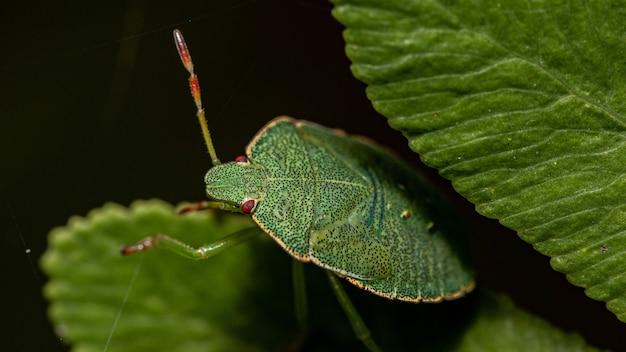 Foto macro de um inseto escudo verde em uma folha