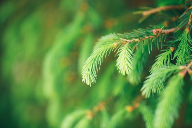 Foto macro de um jovem ramo de abeto verde-claro