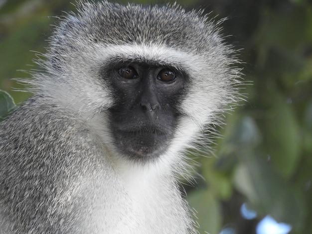 Foto macro de um macaco africano fofo