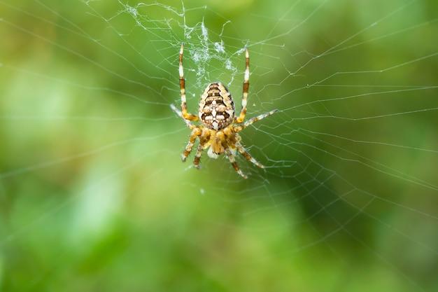 Foto macro de um orbweaver angulado, uma espécie de aranha, construindo uma nova teia em um gramado