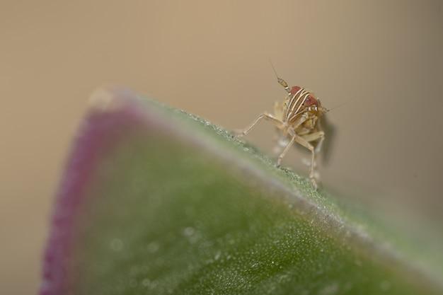 Foto macro de um pequeno gafanhoto em uma folha verde