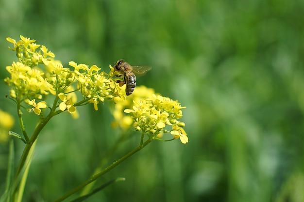 Foto macro de uma abelha colhendo mel em uma flor amarela no verão