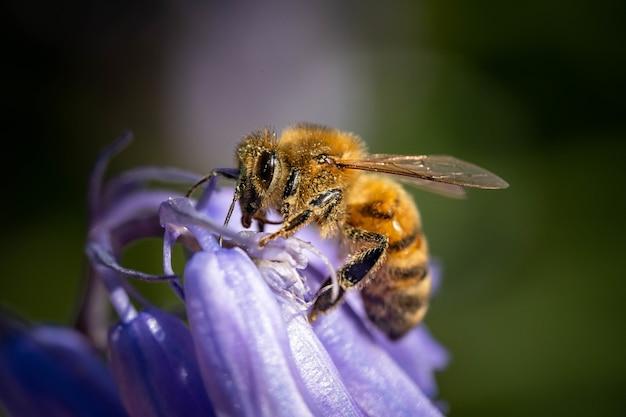 Foto macro de uma abelha em uma flor roxa