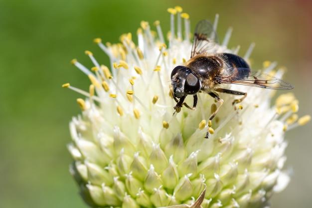 Foto macro de uma abelha polinizando e coletando néctar em uma flor branca, vista superior do foco seletivo do espaço da cópia.