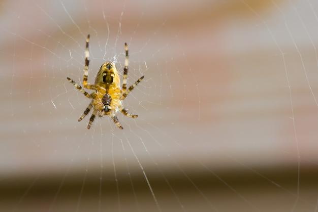 Foto macro de uma aranha em uma teia Foto Premium