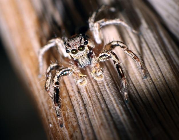 Foto macro de uma aranha saltadora em musgo marrom com muitos cabelos e olhos grandes