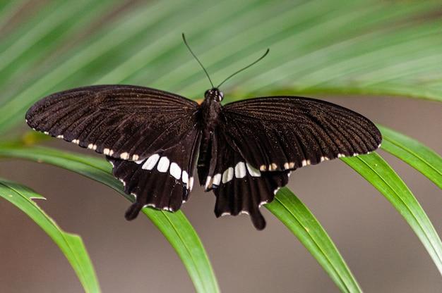 Foto macro de uma borboleta preta com manchas brancas em uma planta verde
