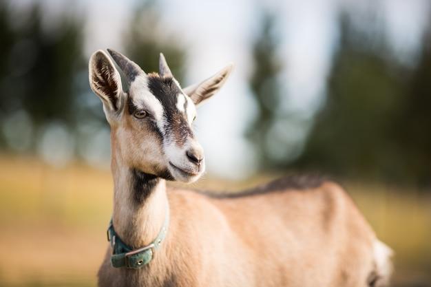 Foto macro de uma cabra olhando para a distância em um campo durante o dia