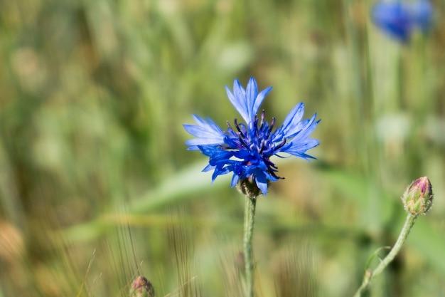 Foto macro de uma centáurea azul no campo de trigo