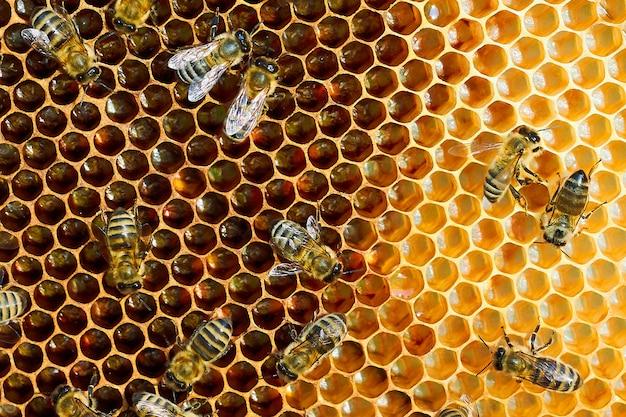 Foto macro de uma colmeia de abelhas em um favo de mel com copyspace. as abelhas produzem mel fresco e saudável.