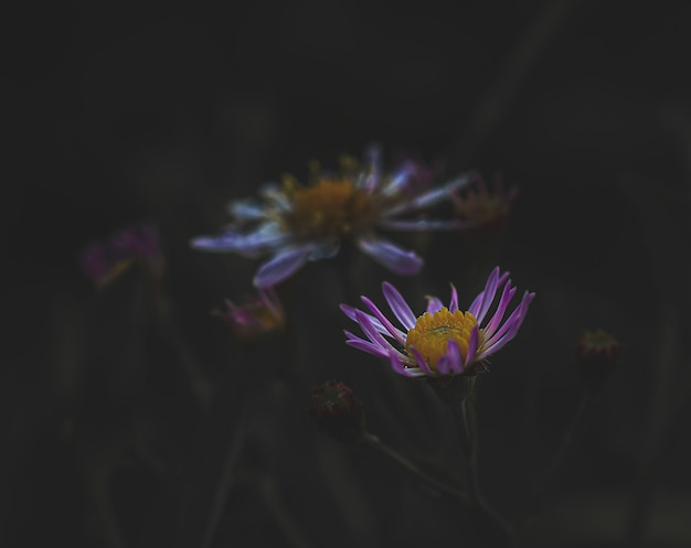 Foto macro de uma flor lilás em um fundo escuro