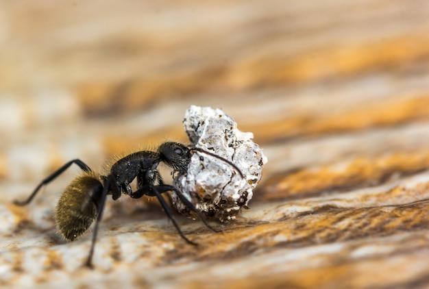 Foto macro de uma formiga carregando uma pedra