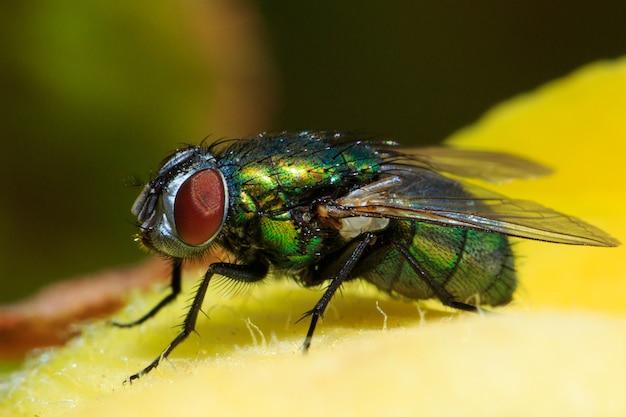 Foto macro de uma garrafa verde comum voando em uma folha sob a luz do sol