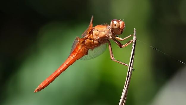 Foto macro de uma libélula do skimmer de chamas em um galho