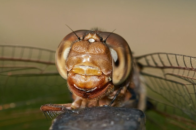 Foto macro de uma libélula em uma rocha com um fundo desfocado