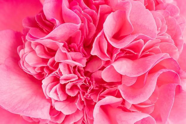 Foto macro de uma linda flor de camélia rosa